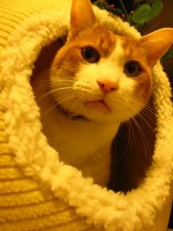 家に入っている猫