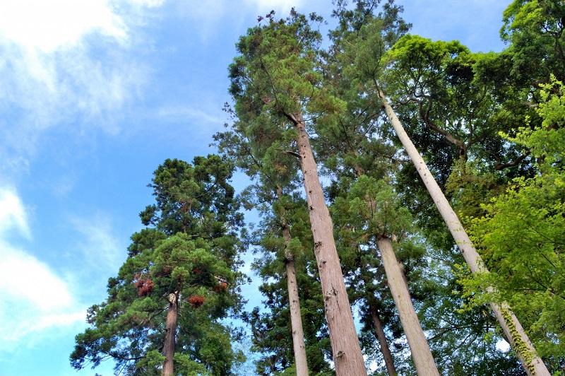 たくさんの杉